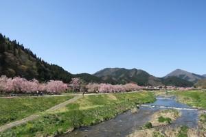 新庄村「がいせん桜」2